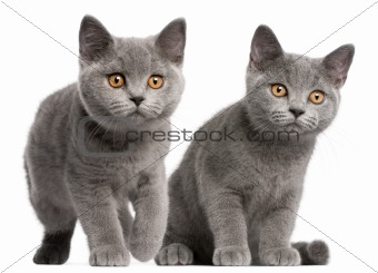 British Shorthair kittens, 3 months old, in front of white background