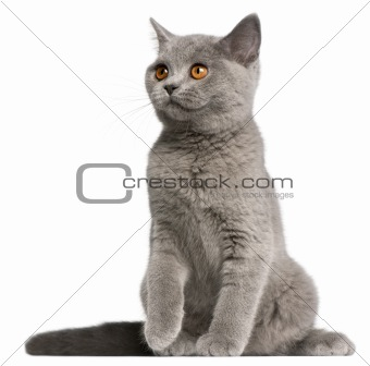 British Shorthair kitten, 3 months old, sitting in front of white background