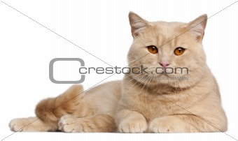 British Shorthair cats, 1 year old, lying in front of white background