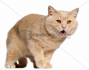 British Shorthair cat, 1 year old, standing in front of white background