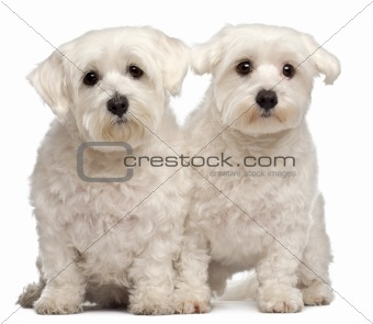 Two Maltese, 2 and 3 years old, sitting in front of white background