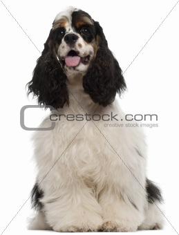 American Cocker Spaniel puppy, 6 months old, sitting in front of white background