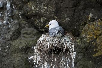 Seagull in nest on Mykines, Faroe Islands