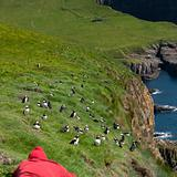 Man observing Atlantic Puffin or Common Puffin, Fratercula arctica, on Mykines, Faroe Islands