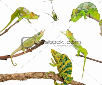 Chameleons reaching for grasshopper in front of white background