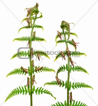 Woodland Grasshoppers, Omocestus rufipes, on fern in front of white background