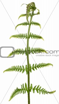 Fern leaf in front of white background