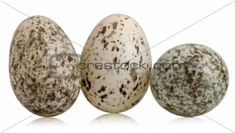 Three House Sparrow eggs, Passer domesticus, in front of white background