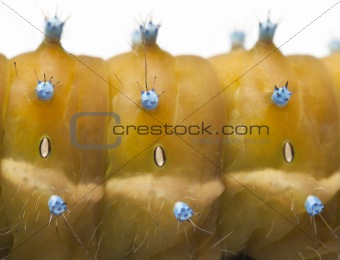 Close-up of Caterpillar of the Giant Peacock Moth, Saturnia pyri, in front of white background