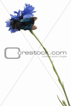 Carpenter bee, Xylocopa violacea, on blue flower in front of white background