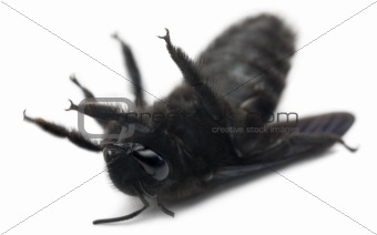 Carpenter bee, Xylocopa violacea, lying in front of white background