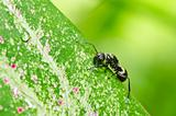 black ant in green nature