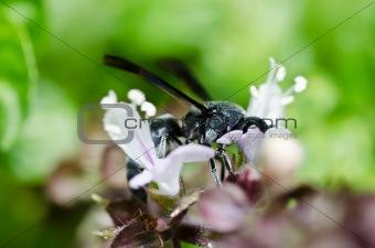 Black wasp in green nature or in garden