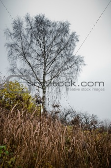 Lonely birch with dried grass