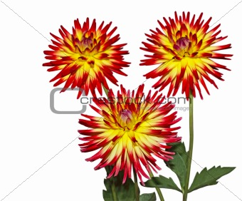 Three Red Dahlia