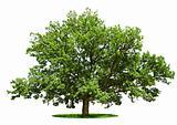 Big tree - oak isolated on a white