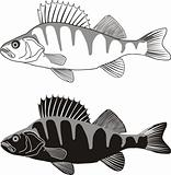 Perch - illustration of freshwater fish
