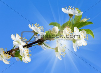 blossoming cherry twig on sky and sunshine background