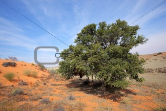 African Acacia tree on dune