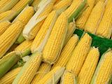 Lots of colorful sweetcorn corn cobs close up.