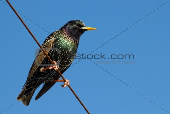 A starling bird perched on a wire.