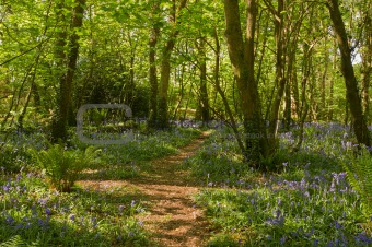 Bluebells along a path in the woods, Tehidy Park Cornwall UK.