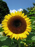 Sunflower on a sunny day