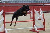 rottweiler in agility