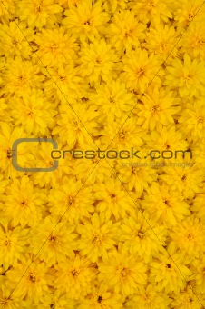 Group of Rudbeckia laciniata flower heads - yellow daisy background