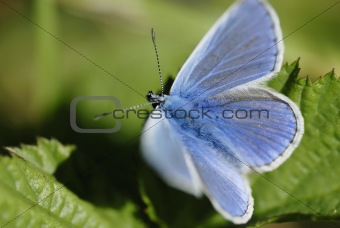 Blue butterfly (Lycaenidae family) in sunlight.