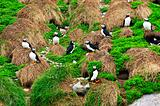 Puffins nesting in Newfoundland