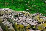 Puffins on rocks in Newfoundland