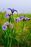 Blue flag iris flowers