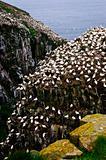 Cape St. Mary's Ecological Bird Sanctuary in Newfoundland