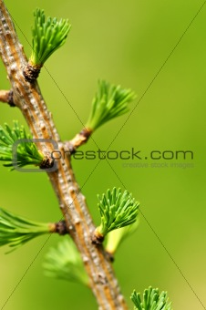 Green spring needles