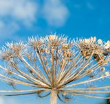 dry hogweed
