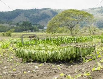 tobacco harvest, Ciego de Avila Province, Cuba