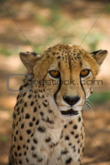 cheetah in Harnas