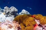 Beautiful coral reef gold sponge with algae