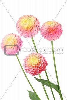 Four Pink Yellow Dahlia