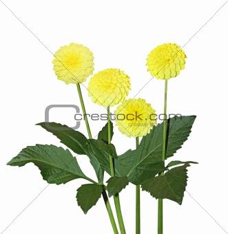 Four Yellow Dahlia