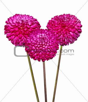 Three Magenta Dahlia Flowers