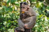 bonnet macaque monkey