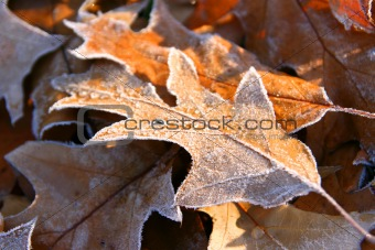 Autumn frozen leaves