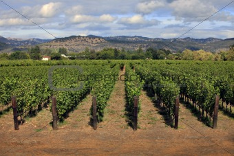 vineyard in Napa, California