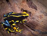 orange and black poison dart frog