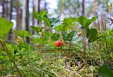 Berry - ripe cloudberries among a grass