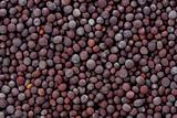 Black Mustard Seeds (Brassica nigra)
