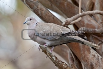 Eurasian Collard Dove (Streptopelia decaocto)