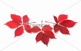 Three red autumn virginia creeper leaves
